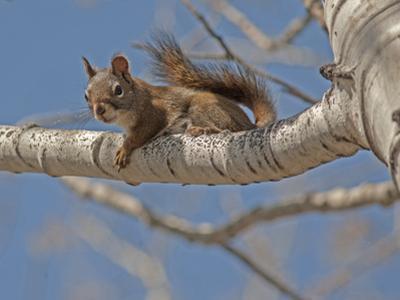 An American Red Squirrel, Tamiasciurus Hudsonicus, Perches on a Branch of an Aspen Tree by Gordon Wiltsie