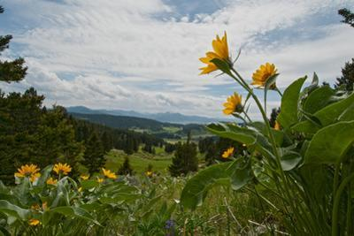 Arrowleaf Balsamroot Flowers Bloom on a Hillside in Montana's Bridger Mountains, Near Bozeman by Gordon Wiltsie