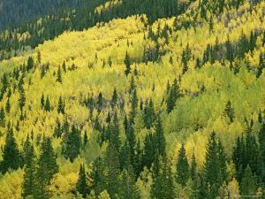 Fall-Colored Aspens in San Juan Mountains near Telluride, Colorado by Gordon Wiltsie