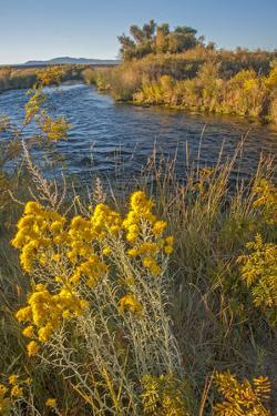 Rabbitbrush Blooms Beside the Owens River, a Major Water Supply for the City of Los Angeles by Gordon Wiltsie