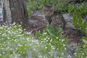 Seed-Bearing 'Cotton' from a Quaking Aspen Tree Falls on a Cat and a Garden of Sweet Woodruff by Gordon Wiltsie