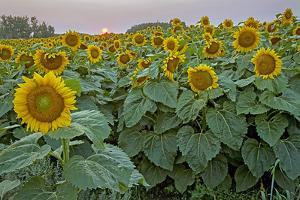 The Sun Sets Behind a Field of Sunflowers in Northern North Dakota by Gordon Wiltsie