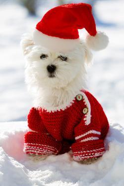 Christmas Puppy, Winter - Portrait of Maltese Puppy in Santa Hat Sitting in Snow by Gorilla