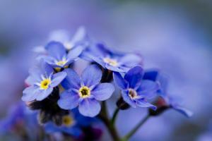 Forget Me Not Flowers - Spring Garden by Gorilla