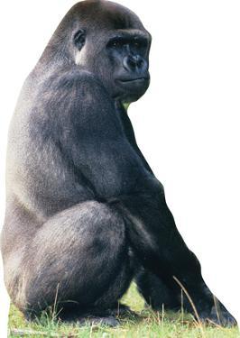 Gorilla Lifesize Standup