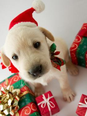 Merry Christmas - Portrait of Cute Labrador Puppy for Christmas Gift by Gorilla
