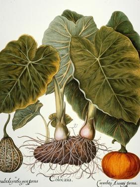 Gourd, Taro, & Pumpkin