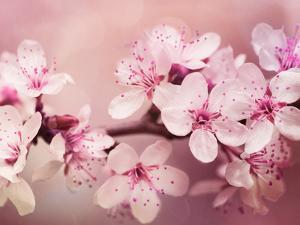 Cherry Blossom by Grab My Art