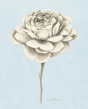 Graphite Botanical Study I by Grace Popp
