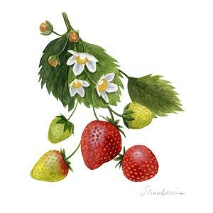 Strawberry Study I by Grace Popp