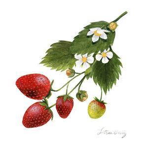 Strawberry Study II by Grace Popp