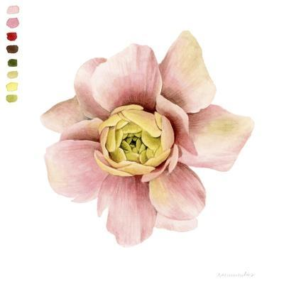 Watercolor Ranunculus Study I