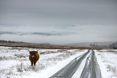 Highland Cow Next To Road Above Malham, Yorkshire, Winter