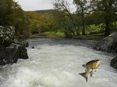 Salomon - Trout Fish (Salmo Sp) Jumping A Waterfall On The Afon Lledr, Betws Y Coed, Wales, October