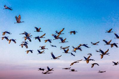 Grand Island, Nebraska -PLATTE RIVER, UNITED STATES Migratory Sandhill Cranes are on their sprin...