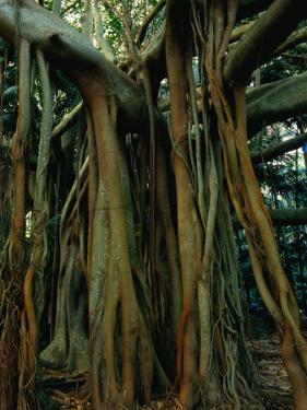 Aerial Roots of Banyon Tree, Lord Howe Island, New South Wales, Australia by Grant Dixon