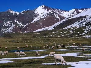 Alpaca Herd Grazing Quebrada Surapampa Valley Near Laguna Ausangatecocha, Cuzco, Peru by Grant Dixon