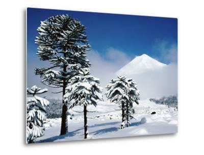 Araucaria (Monkey Puzzle) Trees in Snow Below Volcan Llaima, La Aracucania Region