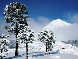 Araucaria (Monkey Puzzle) Trees in Snow Below Volcan Llaima, La Aracucania Region by Grant Dixon
