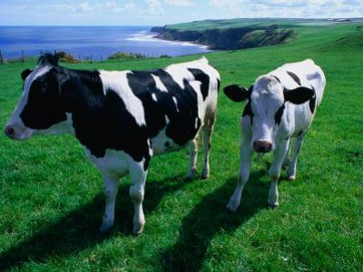 Cattle in Coastal Paddock Near Whitby, North York Moors National Park, England