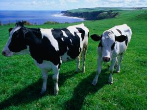 Cattle in Coastal Paddock Near Whitby, North York Moors National Park, England by Grant Dixon