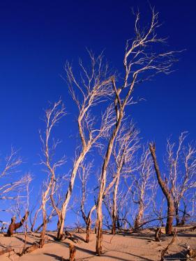 Dead Trees in Sand Dunes at Sunrise, Croajingolong National Park, Victoria, Australia by Grant Dixon