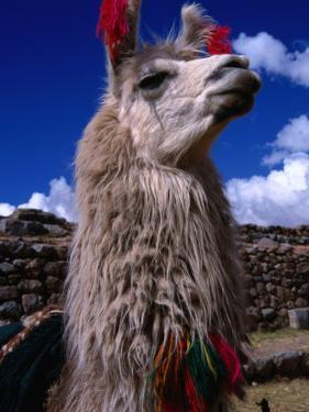 Decorated Llama, Cuzco, Peru by Grant Dixon