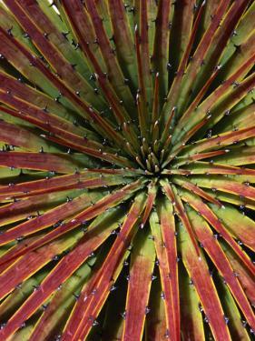 Detail of Spiky-Leafed Puya (Bromeliad), Cajas National Park, Azuay, Ecuador by Grant Dixon