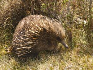 Echidna, Tasmanian Variety by Grant Dixon