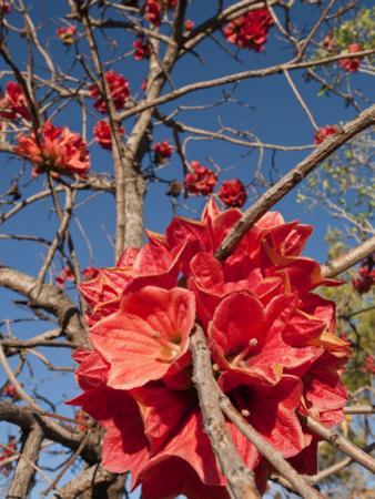 Flowers of Sticky Kurrajong (Brachychiton Viscidulus), West Kimberley