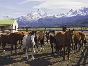 Horses in Corral at Estancia Cristina, Lago Argentino by Grant Dixon