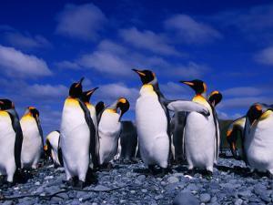 King Penguins (Aptenodytes Patagonicus) on Beach at Sandy Bay, Macquarie Island, Antarctica by Grant Dixon