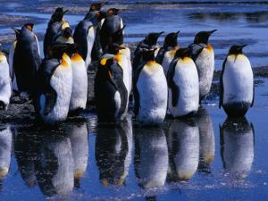 King Penguins ( Aptenodytes Patagonicus ) Reflecting on Salisbury Plains, Bay of Isles, Antarctica by Grant Dixon