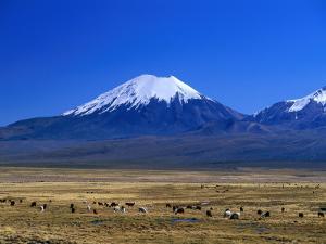 Llama and Alpaca Herd in Sajarma Valley with Mt. Parincota Behind, Mt. Parincota, Oruro, Bolivia by Grant Dixon