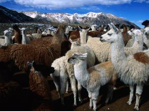 Llamas in a Corral in Umapallaca, Arequipa, Peru by Grant Dixon