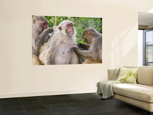 Macaques Monkeys (Rhesus Macaques) Grooming, Dhikala by Grant Dixon