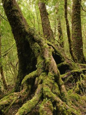Mossy Roots of Myrtle Beech Tree, Mt Dundas by Grant Dixon