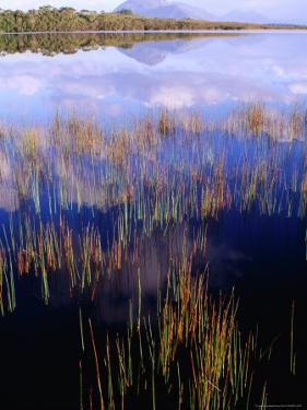 Reeds Growing in Melaleuca Lagoon Near Mt. Rugby, South West National Park, Tasmania, Australia by Grant Dixon