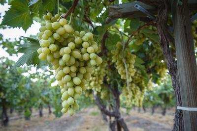 https://imgc.allpostersimages.com/img/posters/grape-at-a-vineyard-in-san-joaquin-valley-california-united-states-of-america-north-america_u-L-PWFMWI0.jpg?p=0