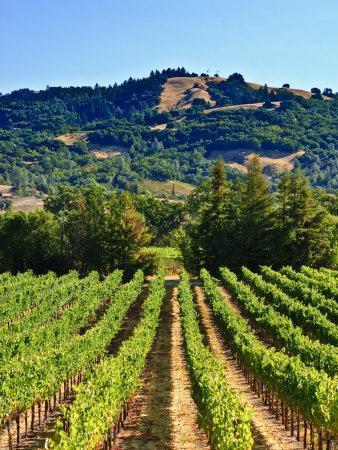 https://imgc.allpostersimages.com/img/posters/grape-vines-in-northern-california-near-mendocino_u-L-P91S4V0.jpg?p=0