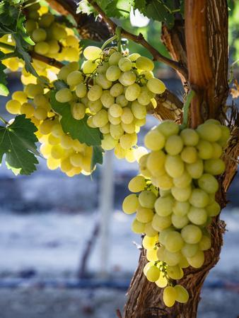 https://imgc.allpostersimages.com/img/posters/grapes-in-san-joaquin-valley-california-united-states-of-america-north-america_u-L-PWFQV80.jpg?p=0