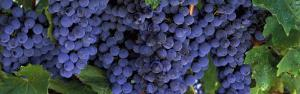 Grapes on the Vine, Napa, California, USA