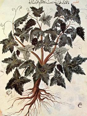 Grapevine, 1229