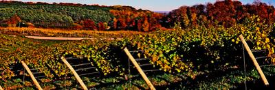 Grapevines in vineyard, Traverse City, Michigan, USA
