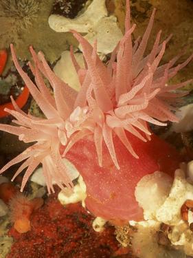 Graphic Sea Anemone I