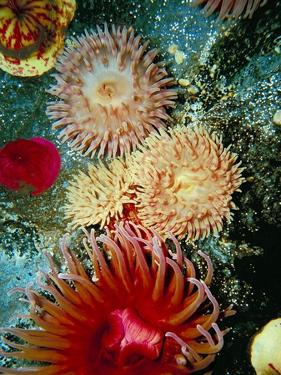 Graphic Sea Anemone III