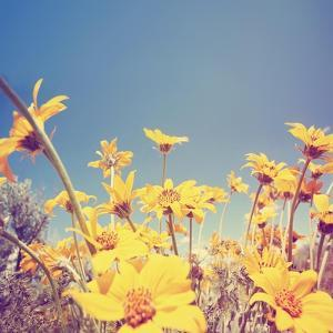 A Bunch of Pretty Balsamroot Flowers Done with a Soft Vintage Instagram like Effect Filter by graphicphoto