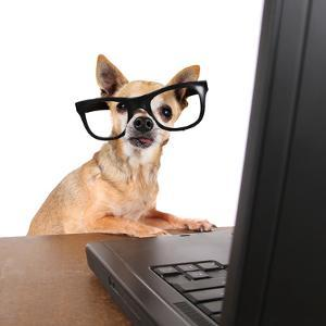 A Chihuahua Surfing The Internet On A Laptop by graphicphoto