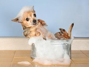 A Chihuahua Taking A Bath by graphicphoto