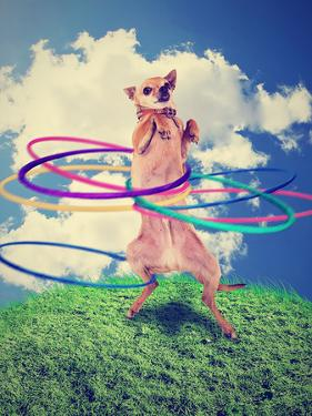 A Chihuahua Using a Hula Hoop by graphicphoto